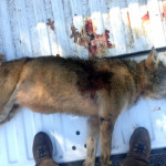 Federal Wildlife Officials Offer $26,000 Reward for Information in Red Wolf Shooting Death