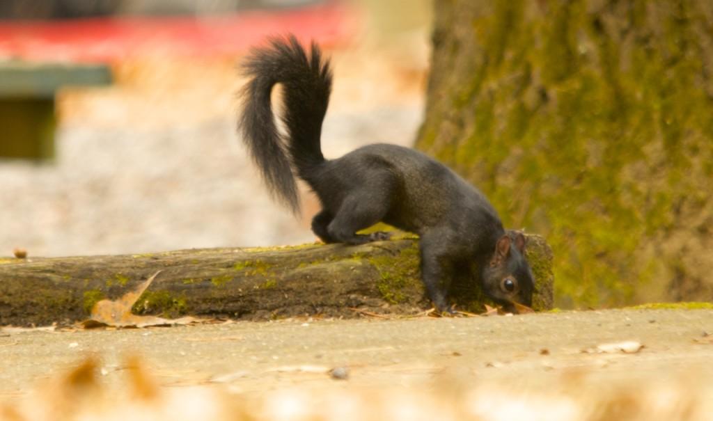NoccalulaBlackSquirrel3