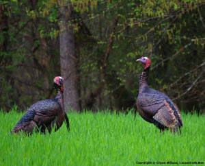 wildturkey_oakmt1bg2