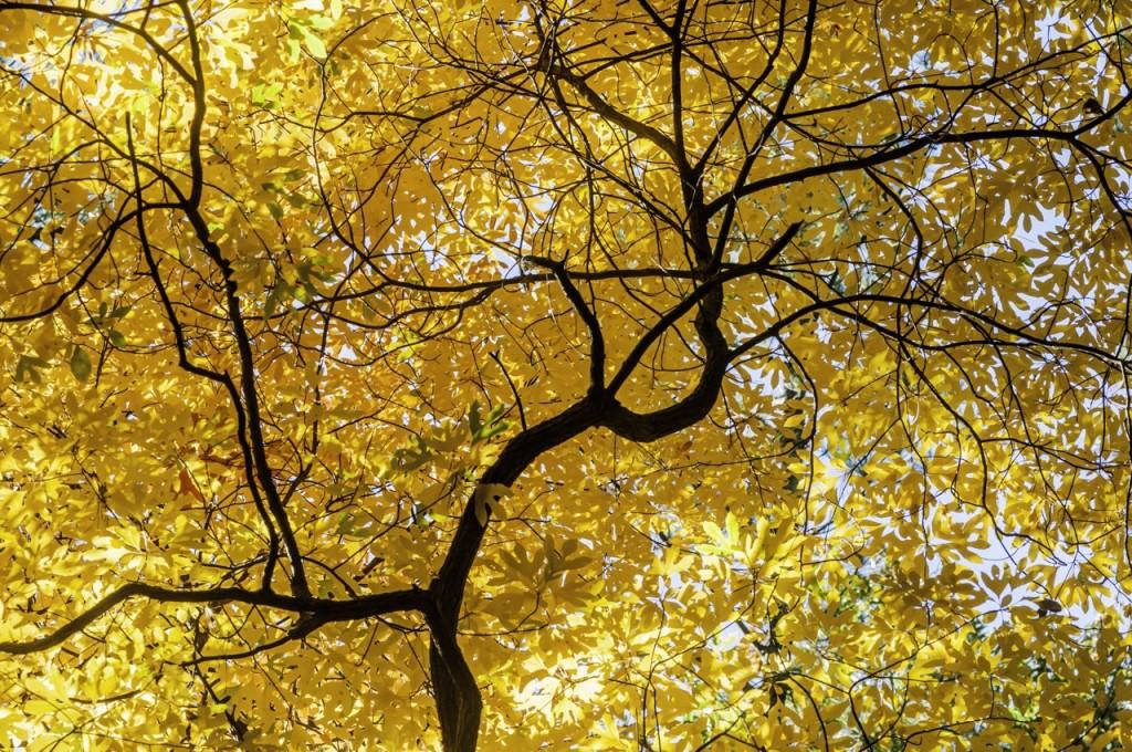yellow_treeKW7