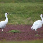 Wildlife Officials Offer $7,200 Reward in Endangered Whooping Crane Shooting Deaths